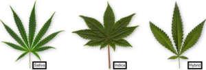 cannabis beginners